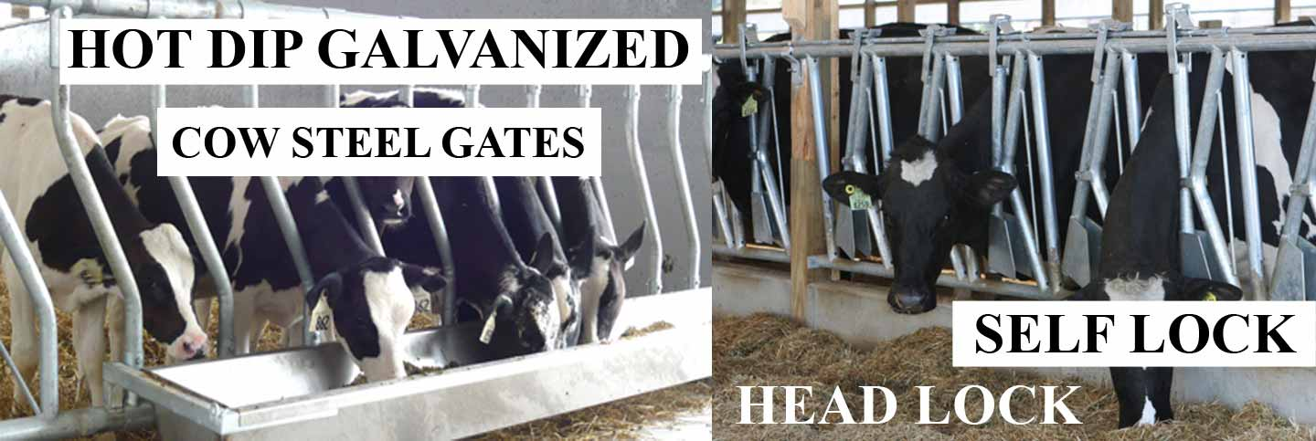 Cow Steel Gates
